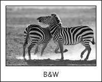 TA-NG-zebra-0084.jpg